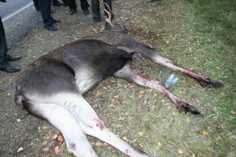В Томской области займутся увеличением популяции лося
